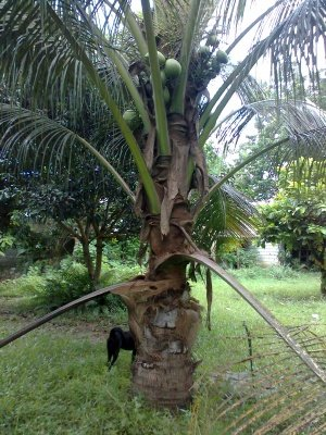 Coconut tree 4 years