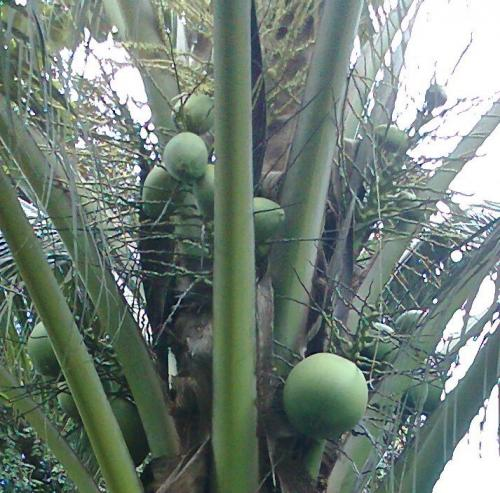 Coconut_flowers_and_fruits