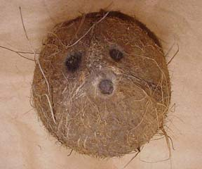 Coconut_fruit monkey face