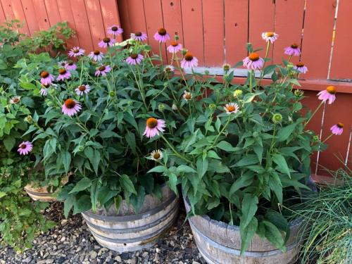 Echinacea in cold springs a