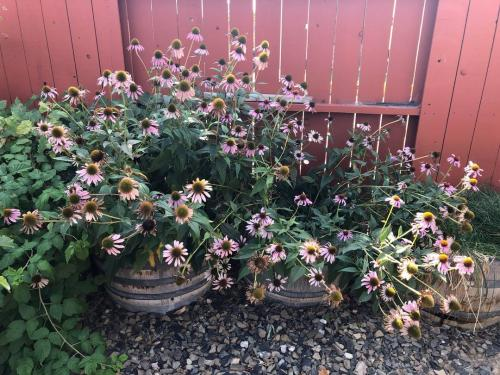 Echinacea in cold springs october a