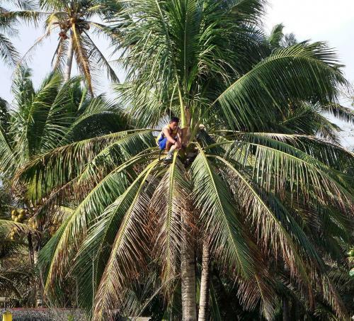 coconut wine - gathereing tuba